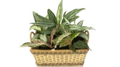 pokojové rostlin\